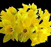 Daffodil Delight by hootonles