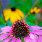 Pink Coneflower by Elizabeth Thomas