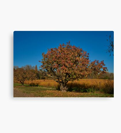 Gnarled fruit tree Canvas Print