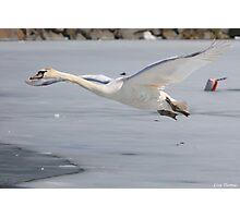 Cygnet Flight Photographic Print