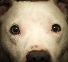 my white staffie marlow  by woodenfoot79