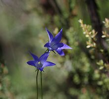 wahlenbergia by Clare Colins