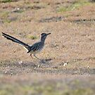 Texan Roadrunner by Kate Farkas