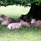 Sheep in the Shade by hootonles