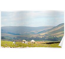 Sheep in the Yorkshire Dales Poster