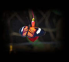 Red Mindo Butterfly In Ecuador by Al Bourassa