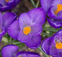 Spring Arrival by Lynn Gedeon
