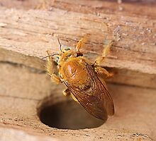 Golden Carpenter Bee by Laurie Puglia