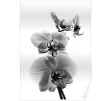 Fragile Beauty Black And White Poster