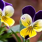 Viola Tricolor by Kenneth Keifer