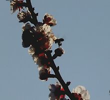cherry Picture by J8TZ