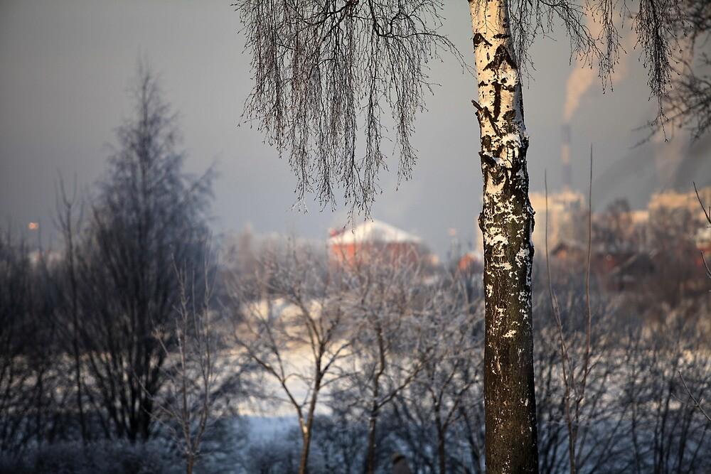 birch tree in winter by mrivserg