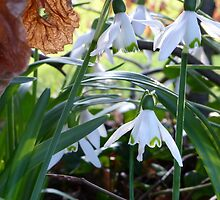 Snowdrops And Beech Leaves by Fara
