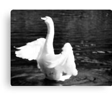 Swan In Motion Canvas Print