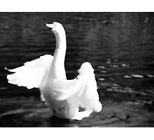 Swan In Motion Photographic Print