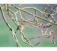 Robin - Erithacus rubecula Photographic Print