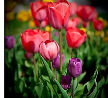 Tulip series by Mike O'Brien