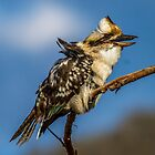 Time for a good Laugh  Kookaburra  Canberra Australia  by Kym Bradley