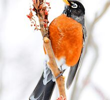 American Robin watercolor art by dwornham