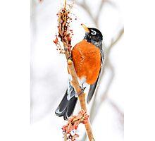 American Robin watercolor art Photographic Print