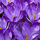 Purple Crocuses © by Ethna Gillespie