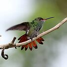 Rufous-tailed Hummingbird by hummingbirds