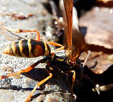 WASP DRINKING WATER by Sandra  Aguirre