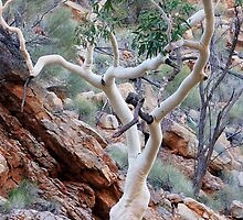 Eucalypt by Harry Oldmeadow