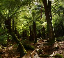 Dance of The Tree Ferns _  Mount Field National Park by Barbara Burkhardt