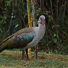 Hadeda Ibis by Warren. A. Williams