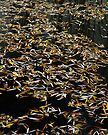 Golden leaves on black water by Patrick Morand