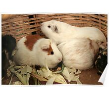 Guinea Pigs in a Basket Poster