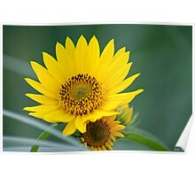 Yellow Sunflower Close Up Poster