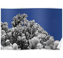 Flowering Magnolia Tree Poster