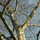 Silver Branches by millymuso