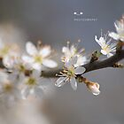 """ Blossom White In The Sunlight "" by Richard Couchman"