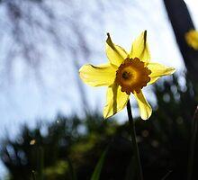 Daffodil Sun by Jessica Reilly