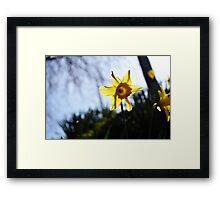 Daffodil Sun Framed Print