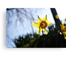 Daffodil Sun Canvas Print