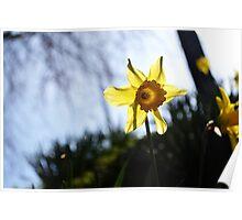 Daffodil Sun Poster