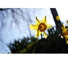Daffodil Sun Photographic Print