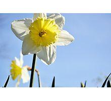 White Ruff Daffodil  Photographic Print