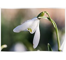 Snowdrop Visitor Poster
