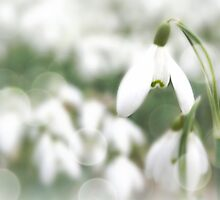 Soft as snowdrops by emajgen