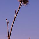 tall thistles by millymuso