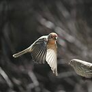 House Finch Crusader by reindeer