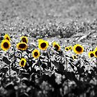A Splash of Sunflowers by DeeZ (D L Honeycutt)