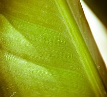 The gorgeous striations of a bird of paradise leaf. by jenbucheli
