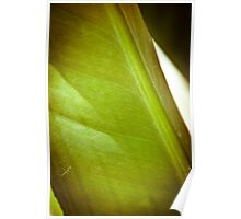 The gorgeous striations of a bird of paradise leaf. Poster