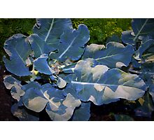 Newly trimmed broccoli Photographic Print